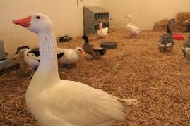 Special Needs Duck & Goose Barn