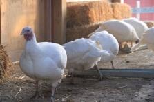 Turkey Barn