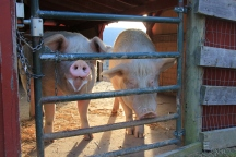 Doc & Sleepy in Upper Pig Barn