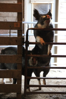 Roxy and Gus in the Sheep Barn
