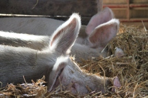 Iowa Barn Pigs