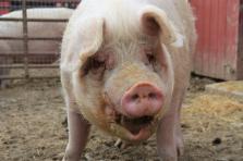 Tim the Pig