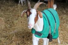 Skye Goat in Sheep Barn
